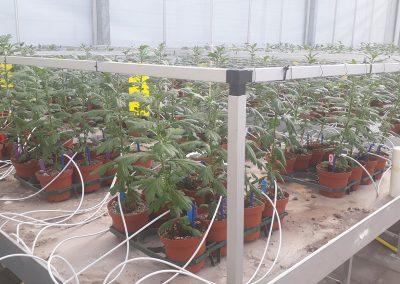 Weerbare perskluit chrysant door toevoegen micro-organismen