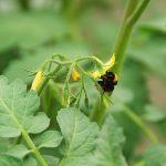 Insectenvraat beïnvloedt bestuifbaarheid van bloemen