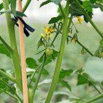 Zorgvuldig te werk gaan met watergift in tomaat