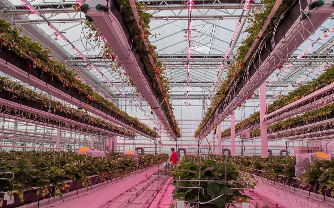 Onderzoekers positief over eerste aardbeienteelt in nieuwe kas