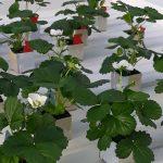 Duurzaam en weerbaar aardbeiteeltsysteem 2030