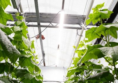 Wit licht geeft hogere productie bij tomaat en komkommer