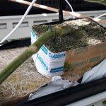 Bacterie die overmatige wortelgroei veroorzaakt valt te remmen