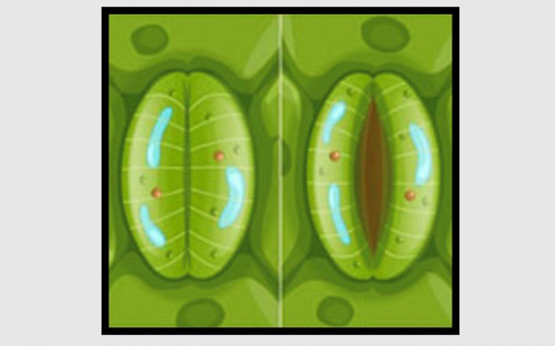 Meten van wateropname, PAR-som en opening huidmondjes
