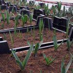 Hyacintenteelt van vollegrond naar de kas