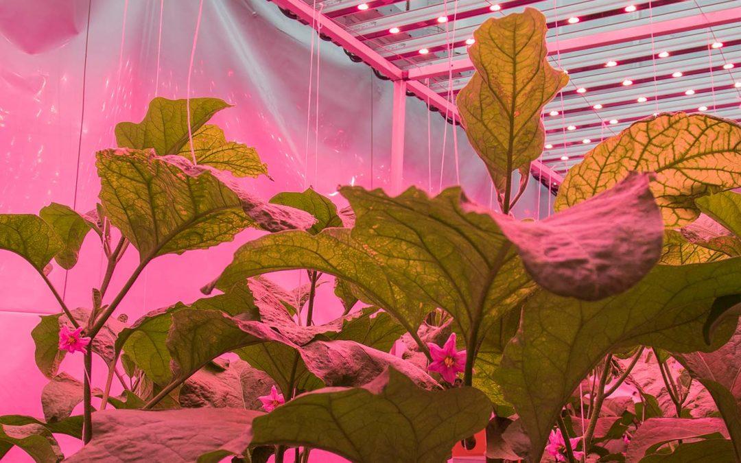 LED-kleur heeft invloed op insecten en plantweerbaarheid