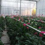 Natriumtolerantie bij gerbera: weinig problemen in teelt