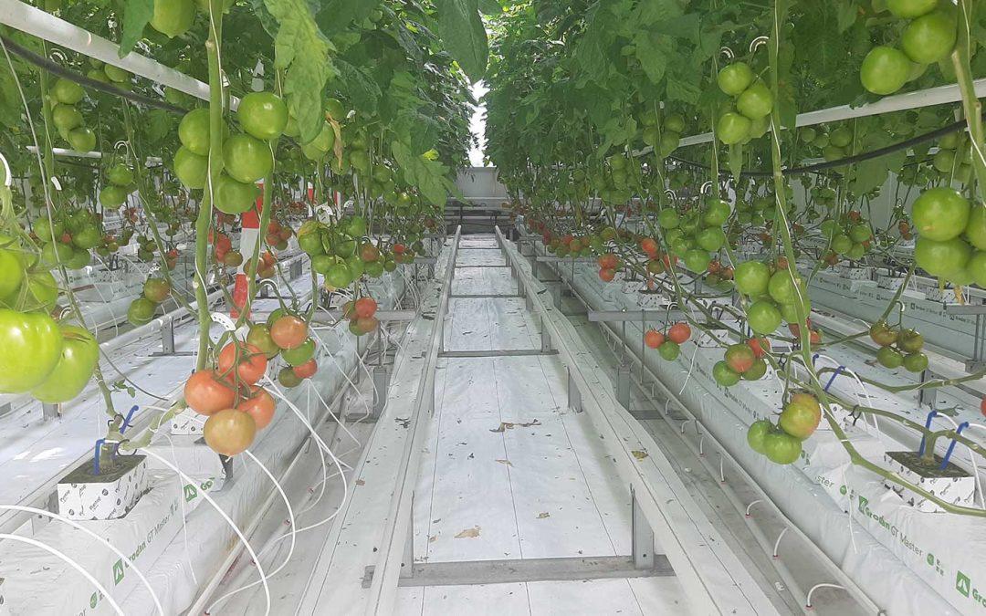 Nog geen groeireductie bij vermindering CO2-dosering tomaat