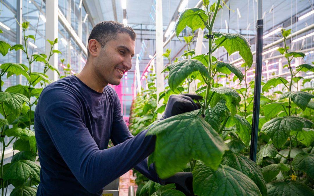 'Wit' licht geeft 6 tot 9% hogere productie bij komkommer