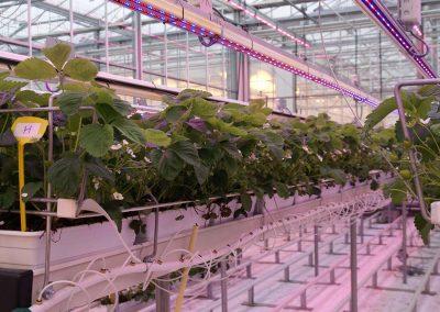 Worden aardbeiplanten weerbaarder door ultraviolet licht?