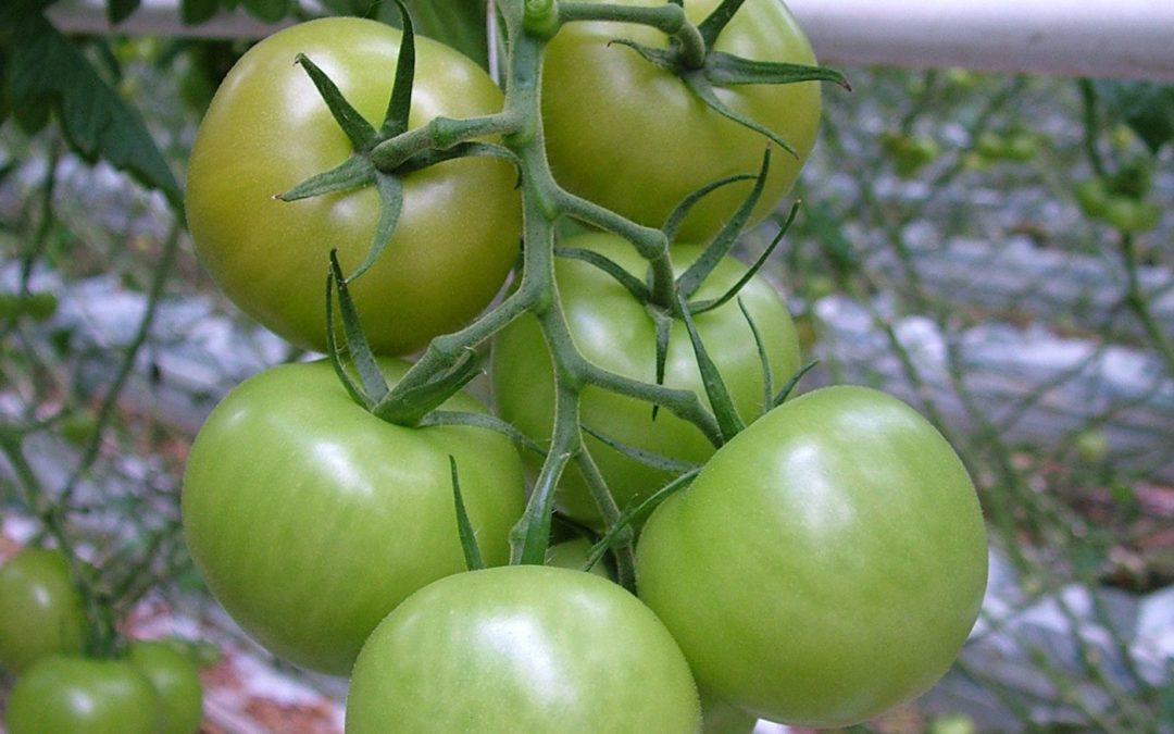 Vitamine C in tomaat stuk hoger door onorthodoxe maatregelen