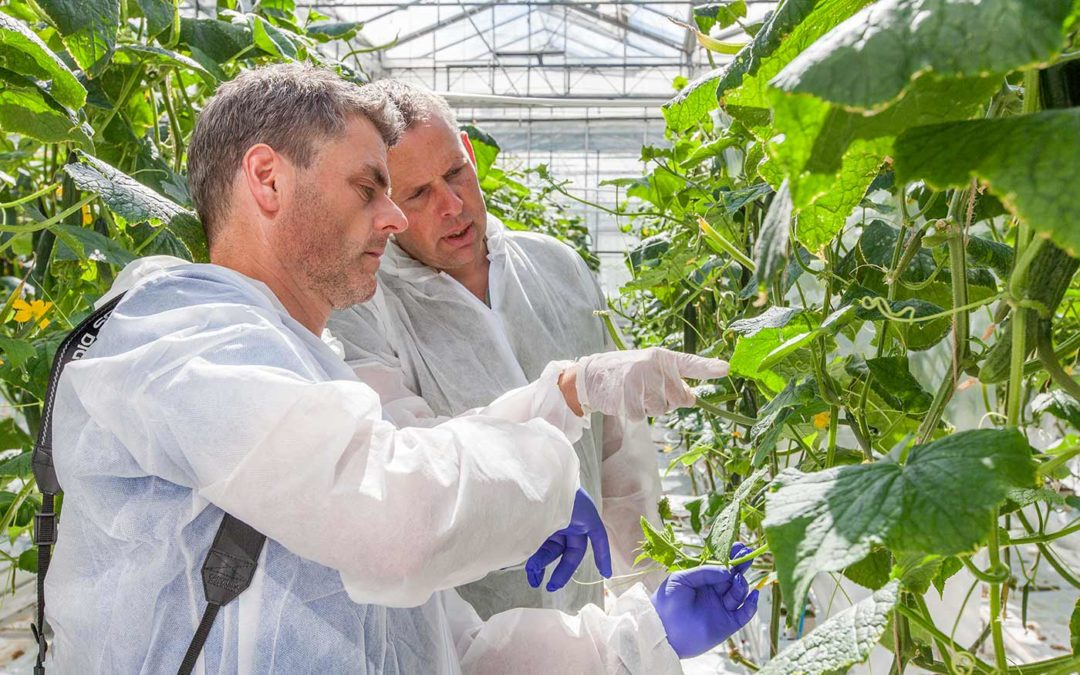 Biostimulanten maken komkommer weerbaarder tegen virus