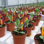 Onderzoek naar biorationals tegen Fusarium