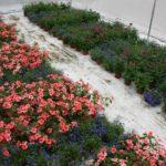 Gewasdiversiteit draagt bij aan bestrijding bladluis