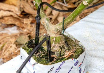 'Geënte en getopte aubergineplant geeft generatieve groei'