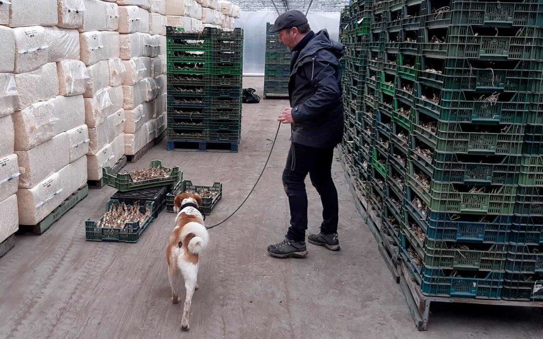 Honden ruiken 90% van met Fusarium besmette bollen