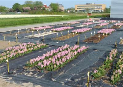 Project Bollencoaster: ziektevrij plantgoed telen in schone grond