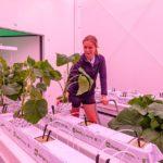 Onderzoek naar teelt komkommer in vertical farm WUR