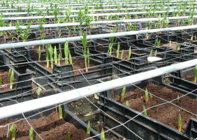Kokos domineert in kistenbroei lelies, veen raakt uit beeld
