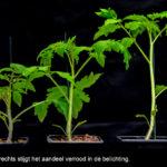 Positief effect verrood licht is bij tomaat rasafhankelijk