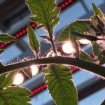 Verrood licht zorgt ervoor dat tomaten de suikers meer naar zich toe trekken