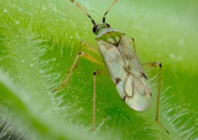 Bestrijding Nesidiocoris is grootste zorg in tomatenproef