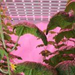 Lichtspectrum beïnvloedt groei en plantweerbaarheid