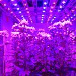 Chrysant een langere dag geven zonder bloei te remmen