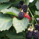 Prima resultaten met houtig kleinfruit in BEST-kas