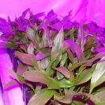 Onderzoek naar schoner en duurzaam telen van bloembollen