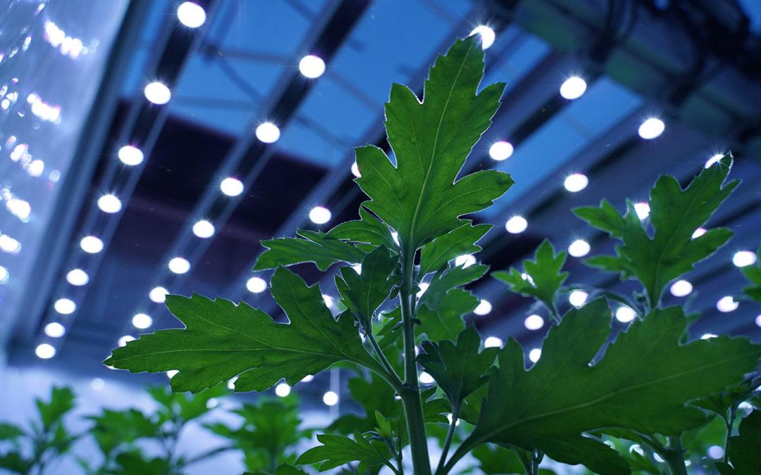 Spectrumproeven met dynamische LED-belichting chrysant