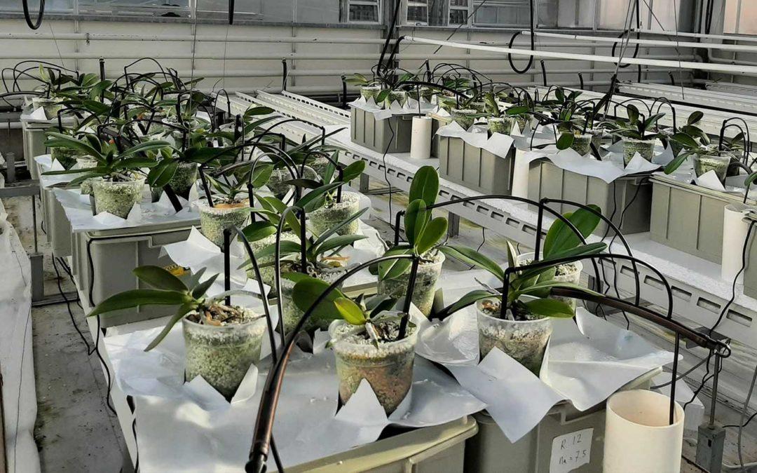 Nieuw onderzoek naar natriumgevoeligheid potorchidee
