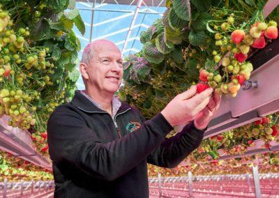 Onderzoek naar LED's in aardbeienteelt werpt vruchten af