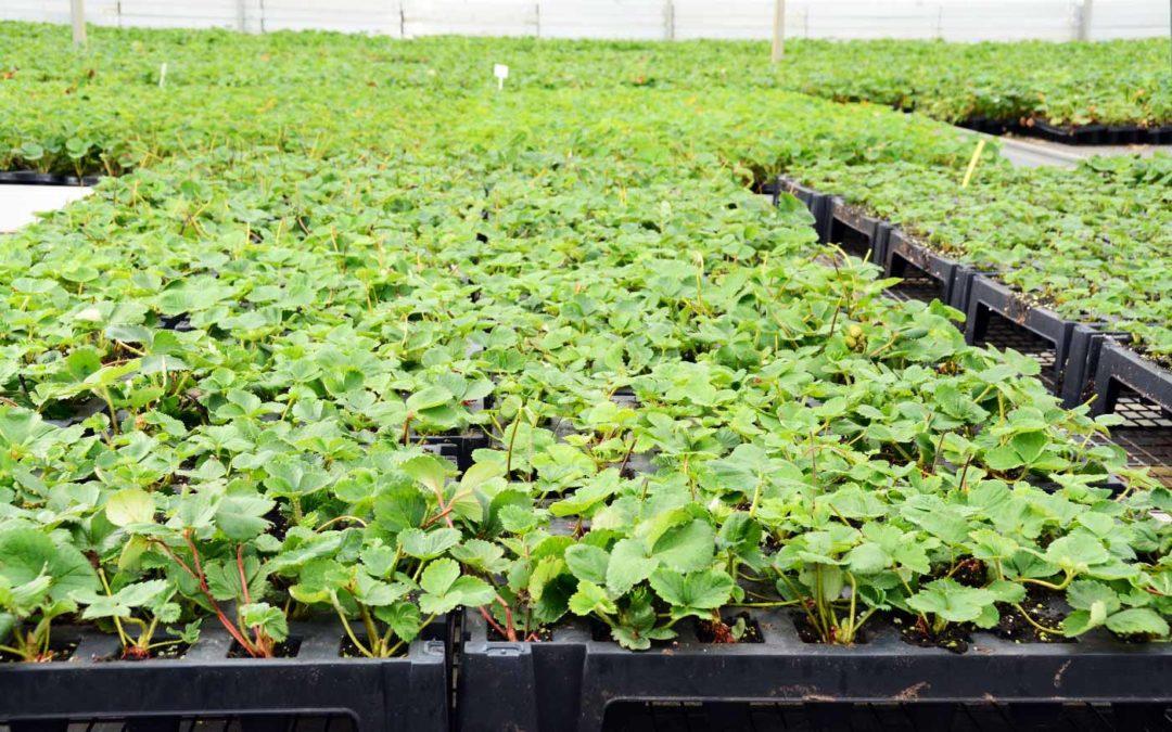Wilgenbastextract versterkt weerbaarheid trayplanten tegen Phytophthora