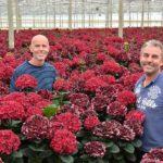 Zeestraten kiest voor hortensia in meest duurzame vorm