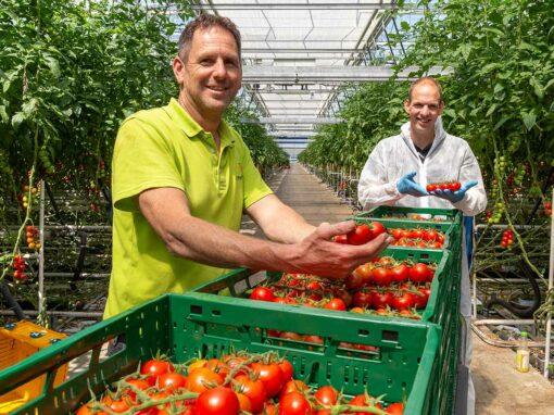 Steeds meer biologie in tomatenteelt bij Emsland Gemüse